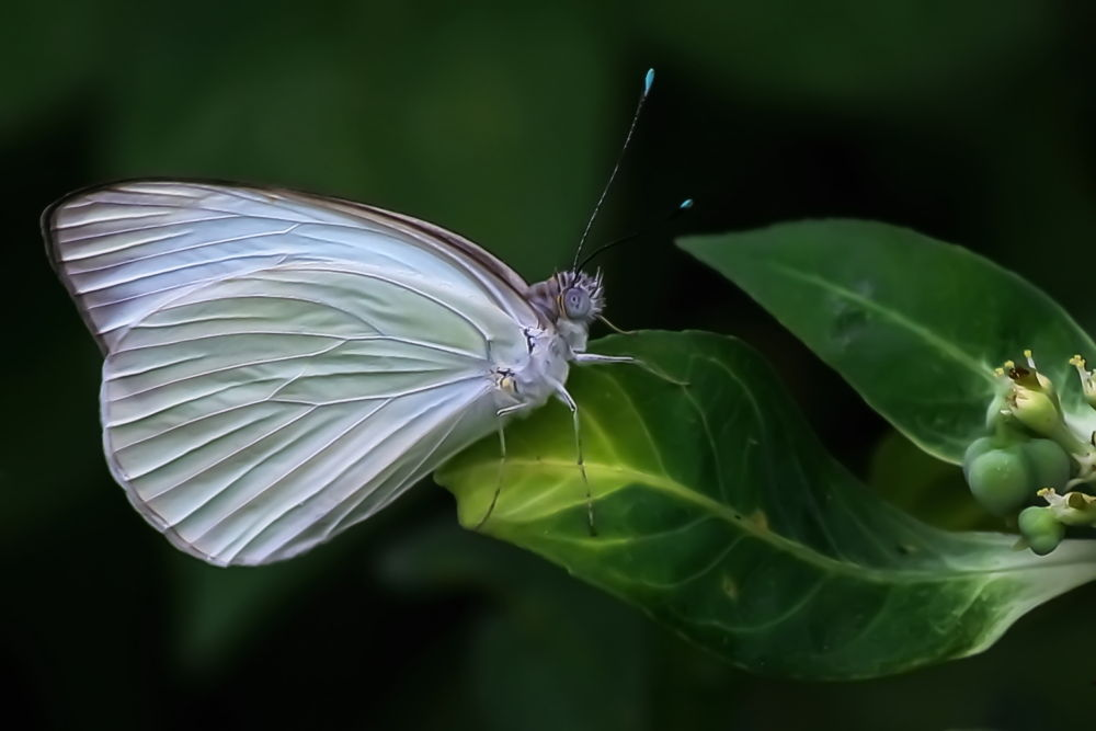 Photo in Nature #animal #bug #nature #butterfly #butterflies #c #animals #insect #bugs #insects #tropical butterfly #tropical butterflies