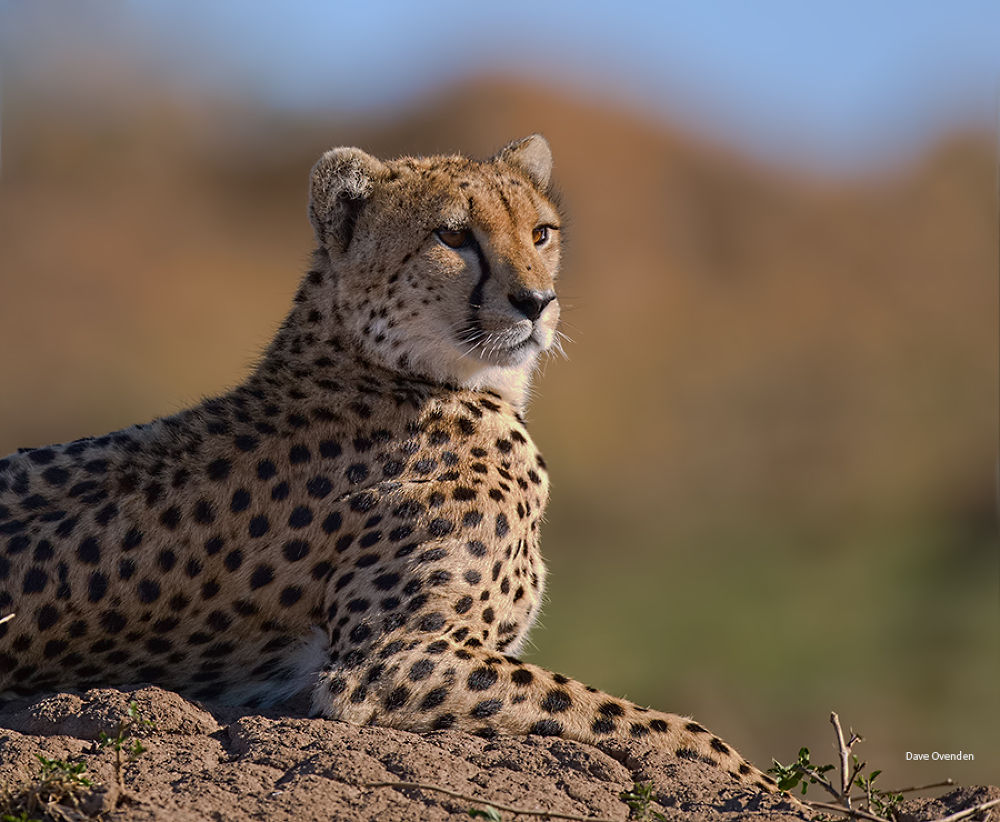 Photo in Nature #nature #cat #africa #wildlife #kenya #big cat #ovenden #cheetah