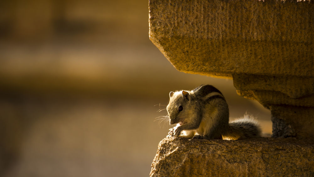Photo in Nature #nature #squirrel #animals #indian photography #golden sunlight