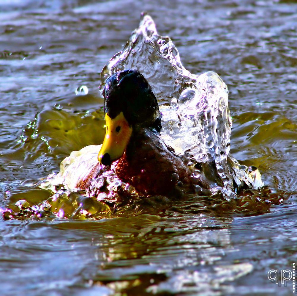 Photo in Animal #animal #water #bird #lake #duck #pond #blue water #lakeside park #mcpherson #kansas #ks #tyler elbert #picture perfect photography