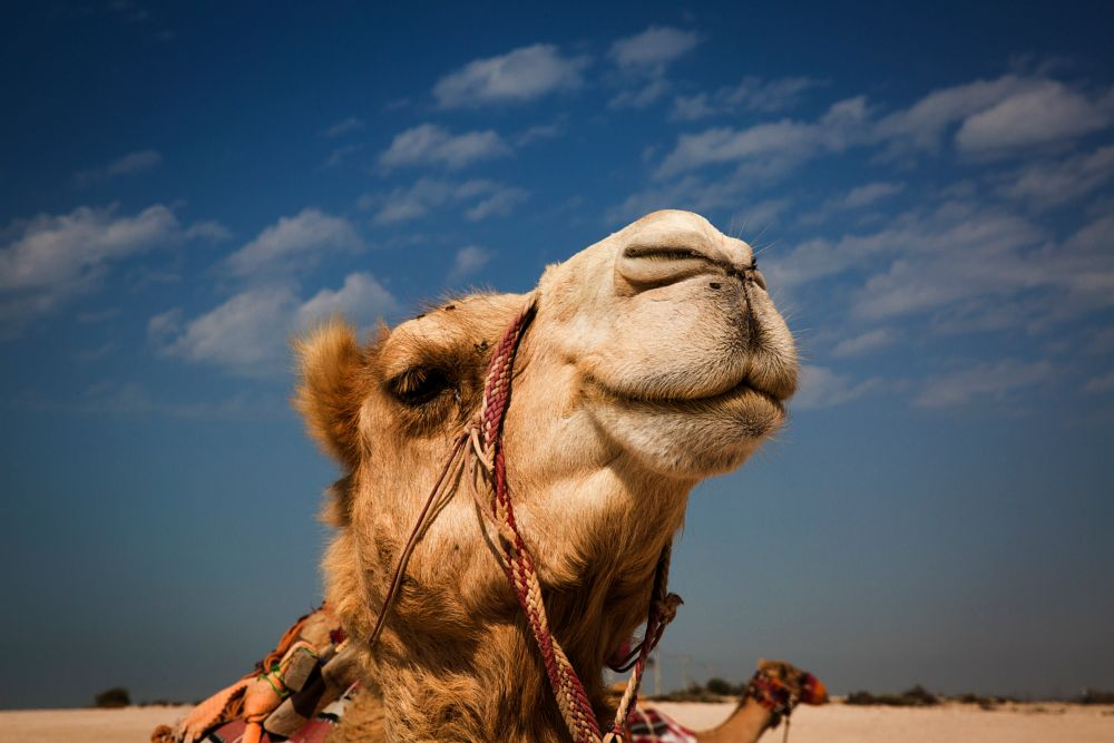 Photo in Animal #animal faces camel desert q