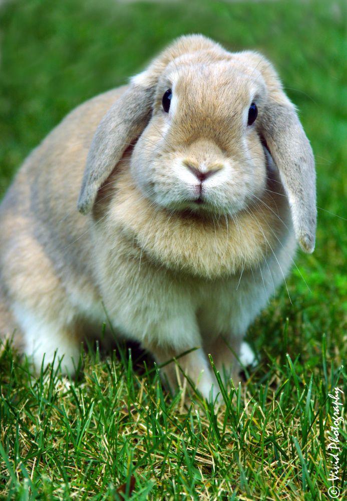 Photo in Animal #long eared rabbit #love #garden #nature