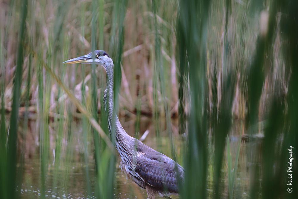 Photo in Animal #blue heron #water #hunt #\nature