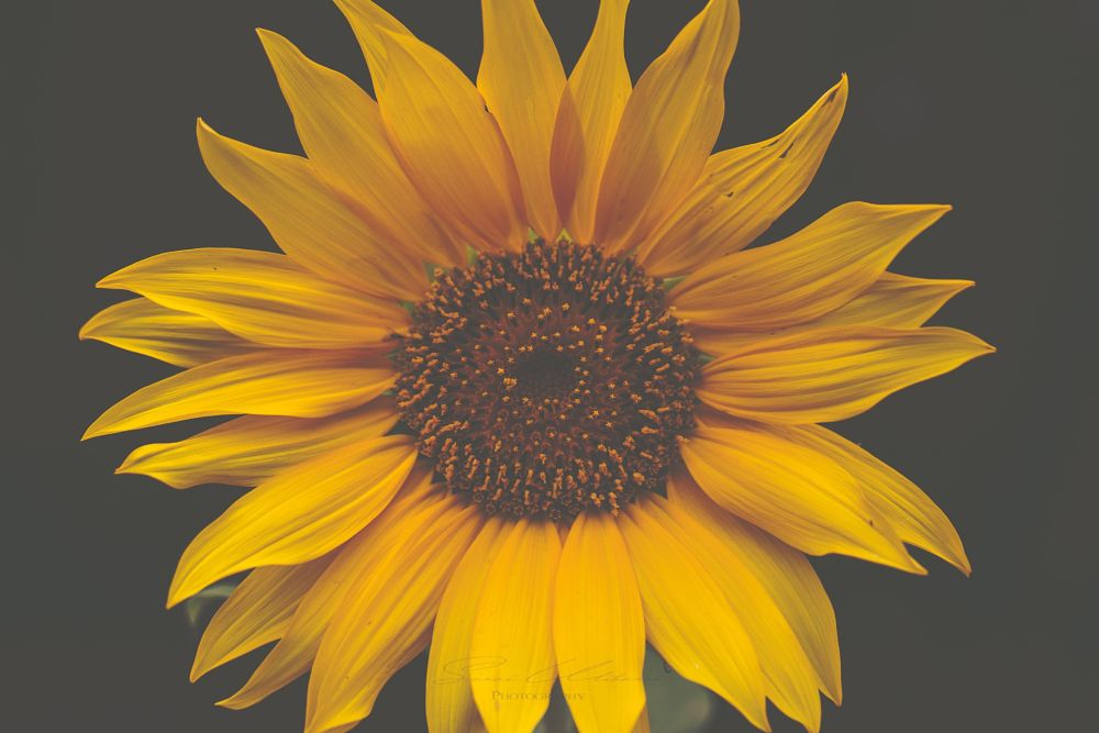 Photo in Nature #flowers #plants #sunflower #flora #yellow