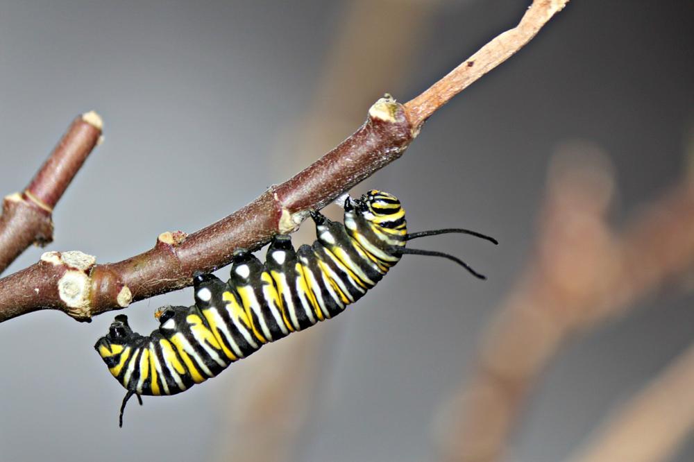 Photo in Nature #nature #insect #macro #caterpillar #yellow #random