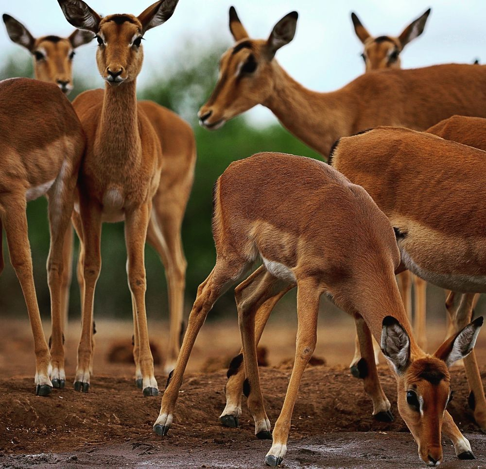 Photo in Random #antelope #animal #wildlife #water #safari #outdoors #trees #green #portrait #female #sky