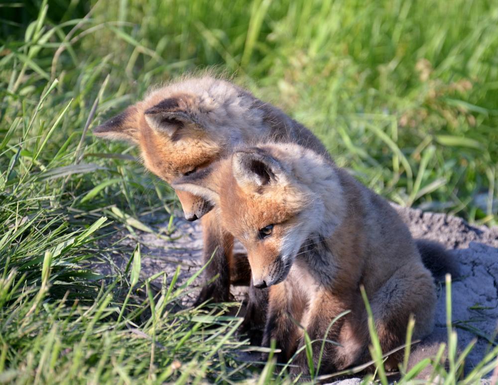 Photo in Animal #fox #wildlife