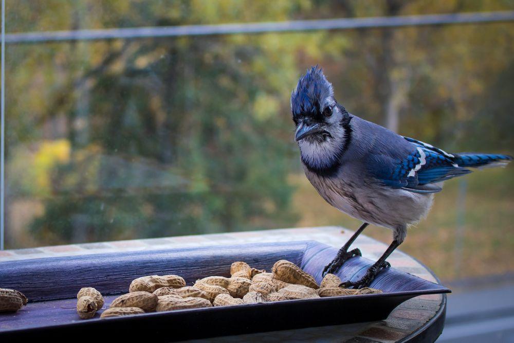 Photo in Random #bluejay #ontario #bird
