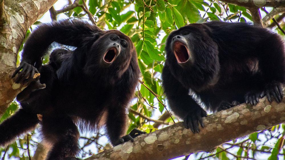 Photo in Animal #mexico #howler #monkey #chiapas #biosphere #natue #animal #black #tree #tourguide #roadtrip #adventure #trip #travel #sunset