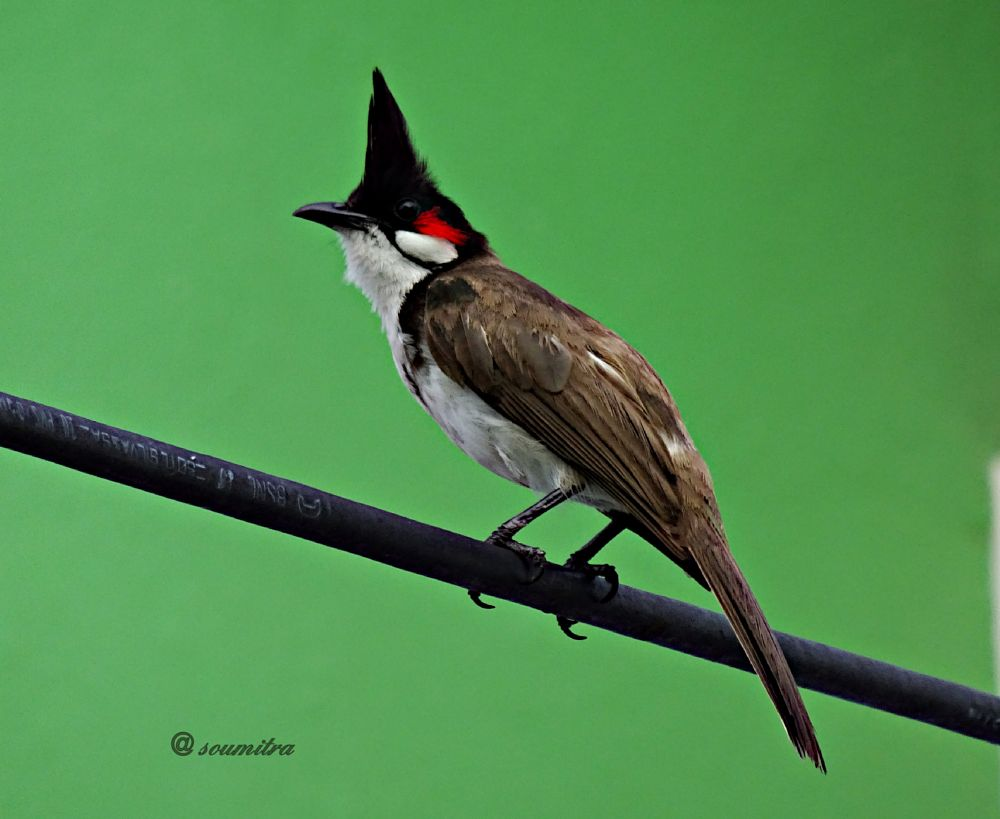 Photo in Animal #animal #bird #bulbuli