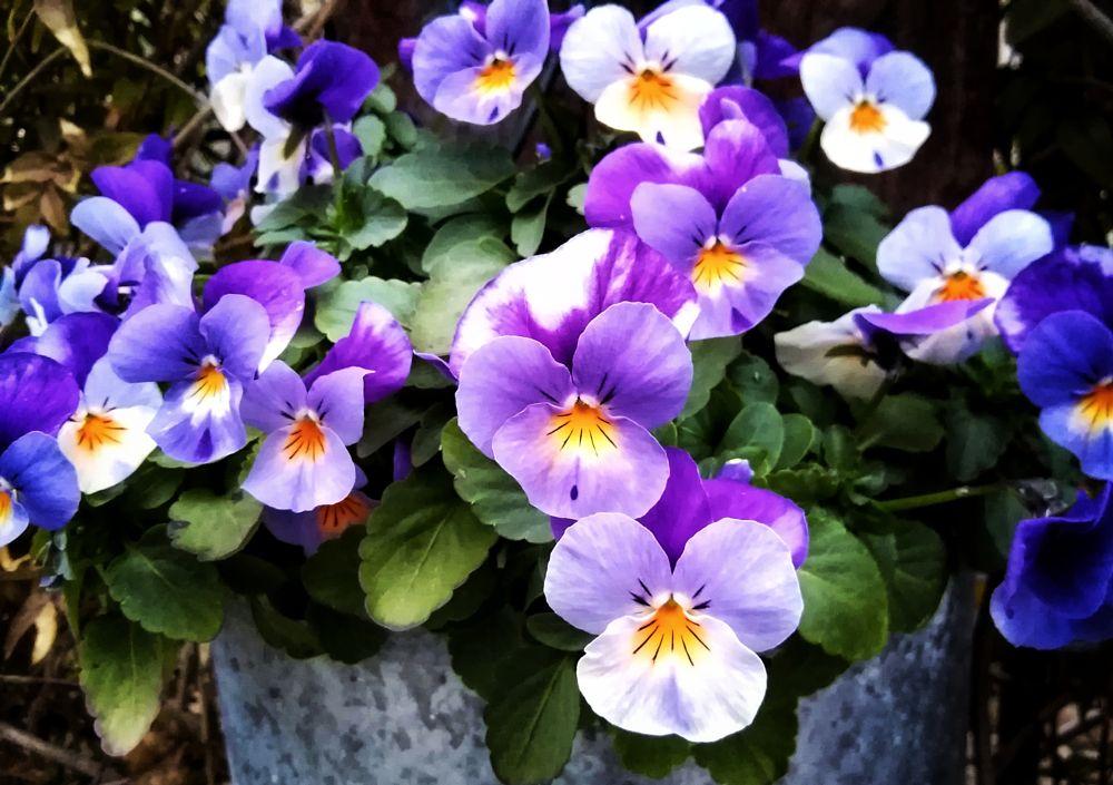 Photo in Nature #viola #violas #violet #flower #flowers #garden #nature