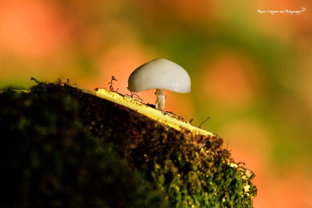 Photo in Macro #nature #mushroom #macro #oudemansiella mucida #calabria