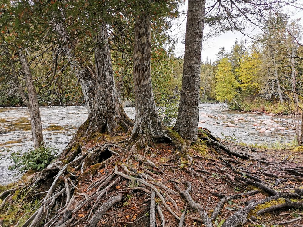 Photo in Nature #nature trees cedar roots r