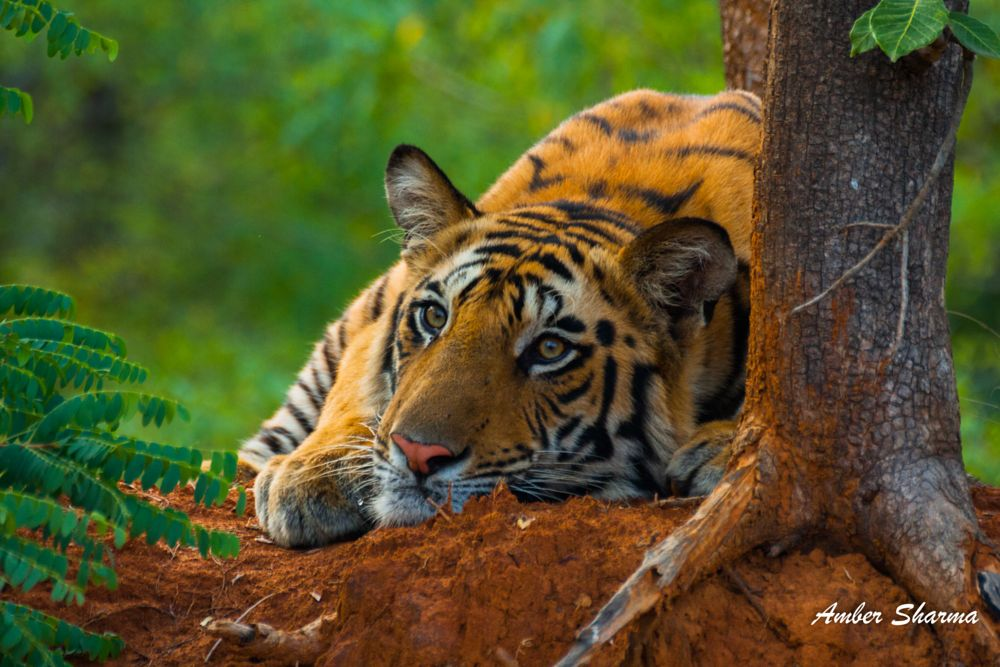 Photo in Animal #tigers #tiger #wild tiger #animal #animals #mammal #mammals behaviour #innocent #big cats #india #indian tiger #kanha #bandhavgarh national park #spy in the jungle #forest #tigers in wild #tiger photography