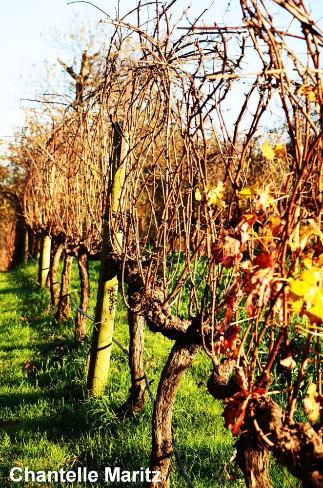 Photo in Nature #vineyards #sunny #wine