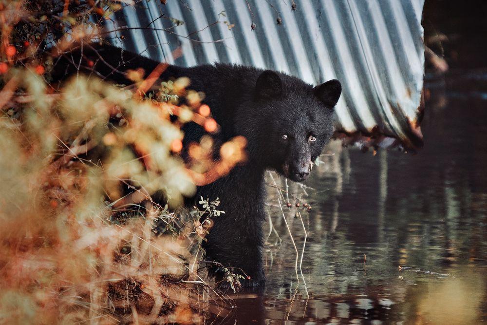 Photo in Random #bear #blackbear #mammal #fishing #salmon #fishhatchery #eyes