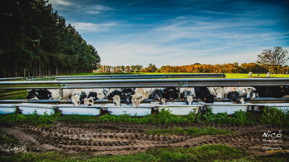 Photo in Animal #cow #animal #food #nature #belgium #fields