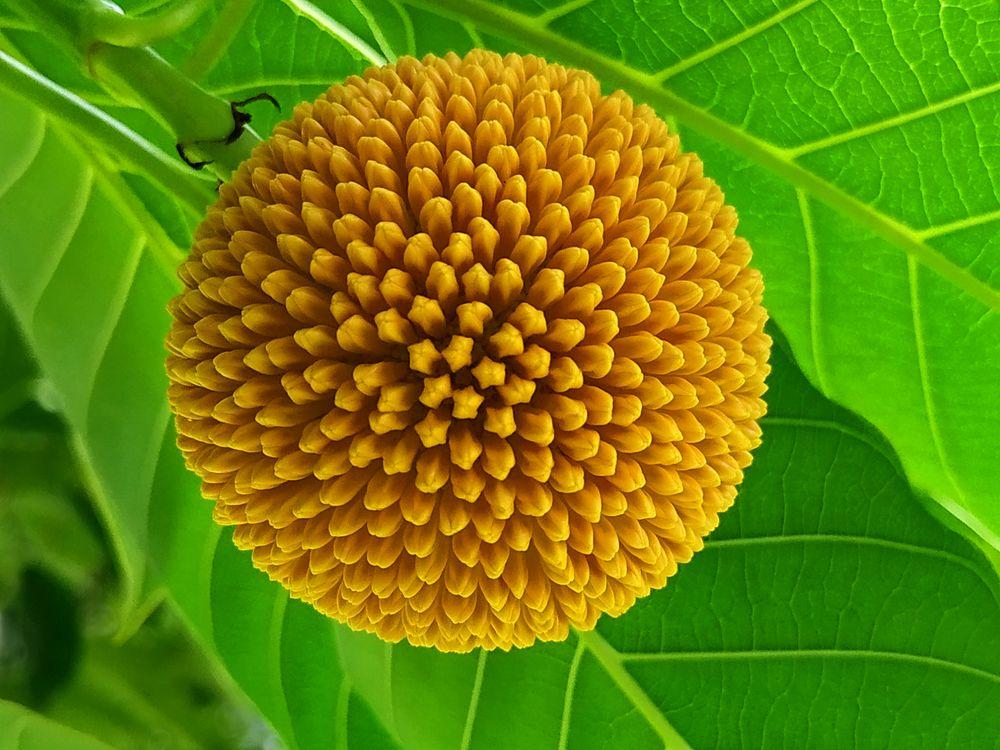 Photo in Nature #yellow ball #macro #garden tree #laran #nature