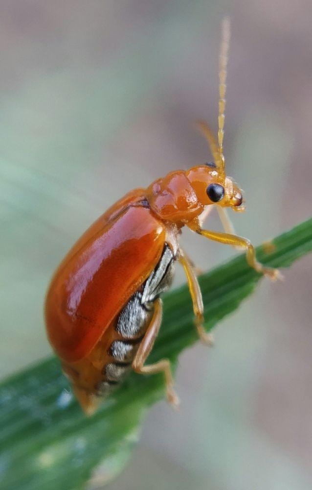 Photo in Macro #macro #nature #attention on details #orange beetle