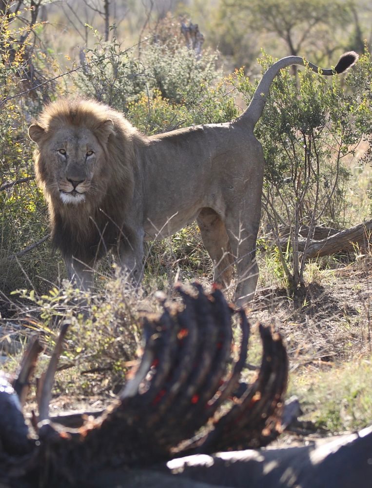 Photo in Animal #lion #hunt #africa