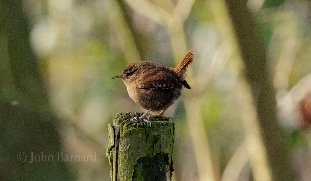 Photo in Nature #nature #wildlife #wren