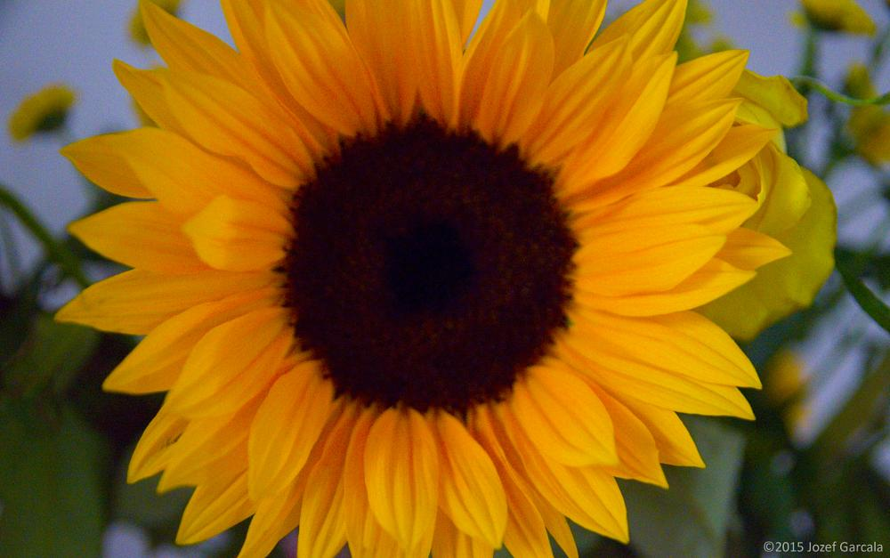 Photo in Macro #close up #sunflower #flowers #nature #macro #abstract