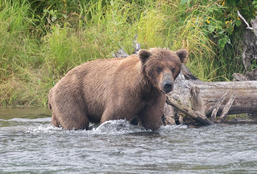 Photo in Animal #brown bear #bear #alaska #river #creek