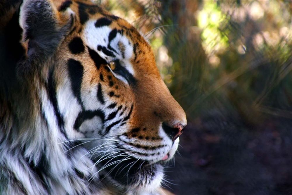 Photo in Random #tiger