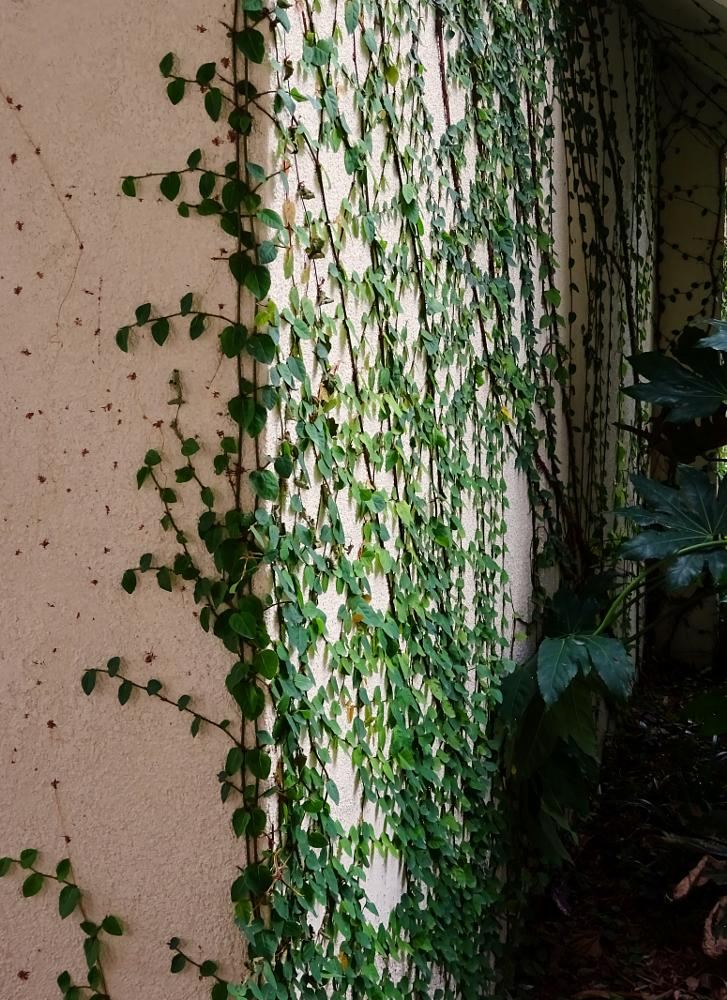 Photo in Nature #ivy #vine #climb #wall #green