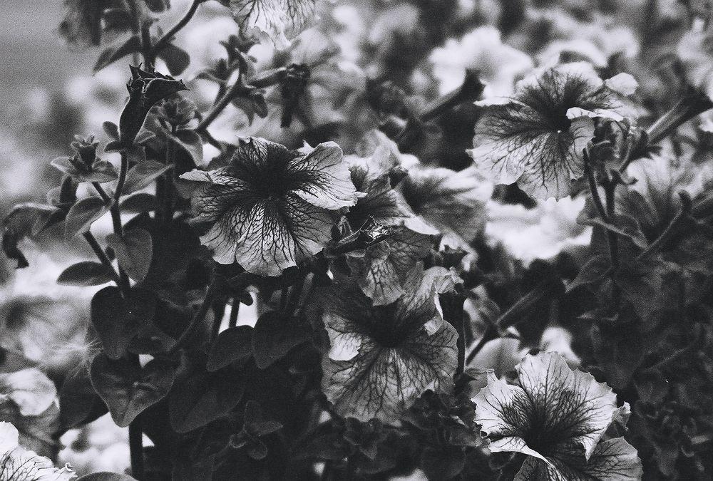 Photo in Black and White #black & white #floral #film #ilford