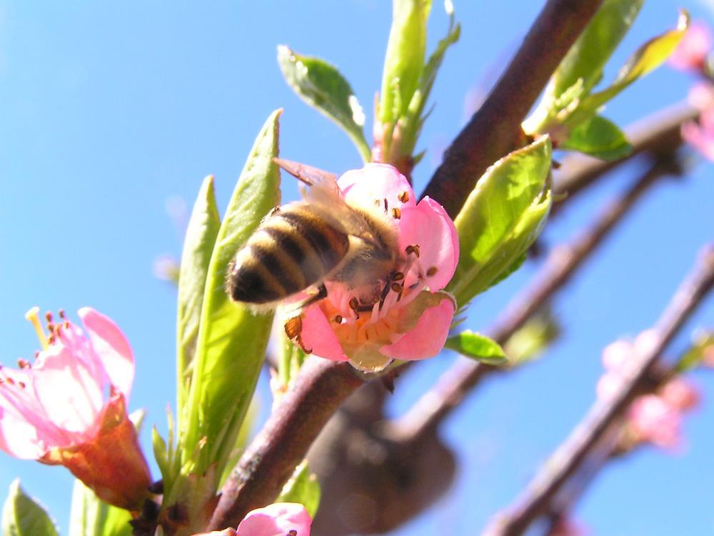 Photo in Macro #flower #bee #tree #spring