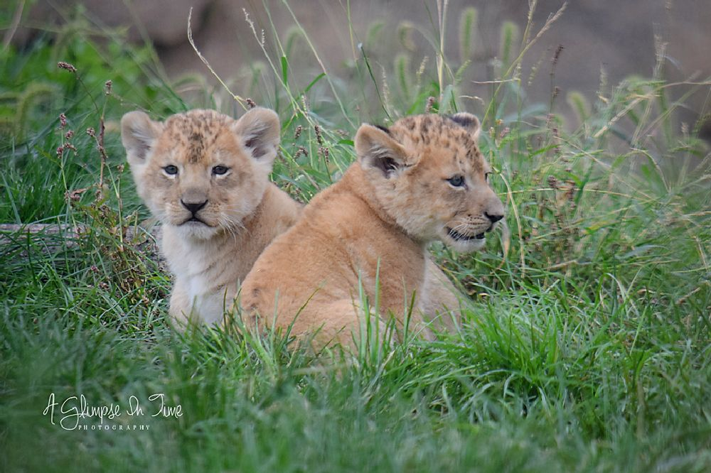 Photo in Animal #lion #lions #lion cubs #cub #cubs #babies #baby #wildlife #wildlife's #animal #animals #african lion #african lions #african lion cubs