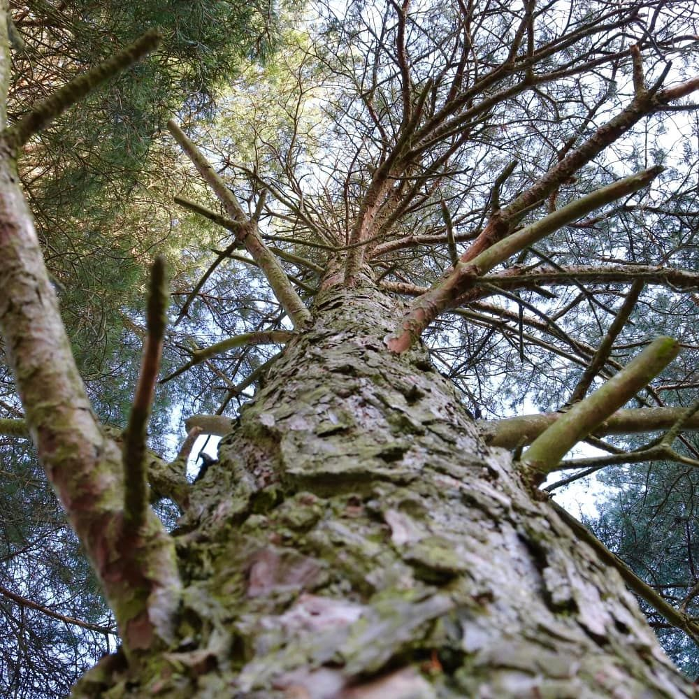 Photo in Nature #trees #pinetree #nature #youpic #branches #pinecone #lowangle #photooftheday