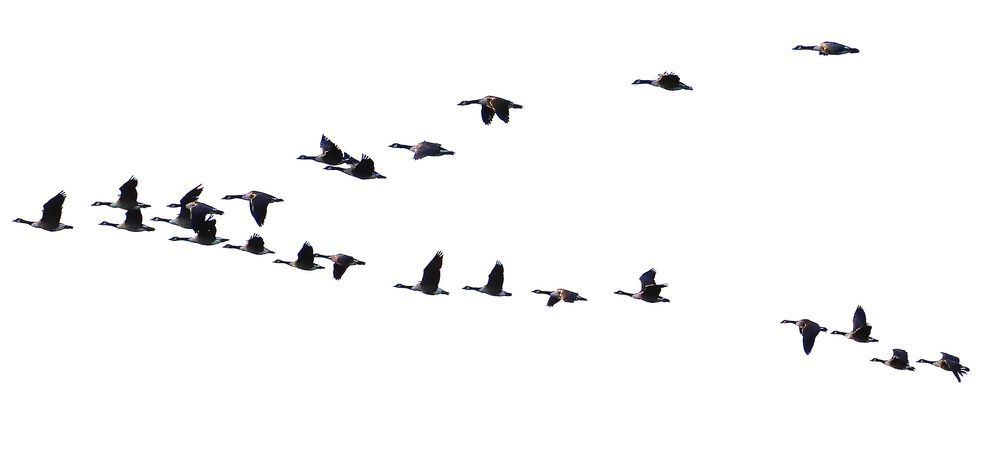 Photo in Animal #ducks #flying #v-formation