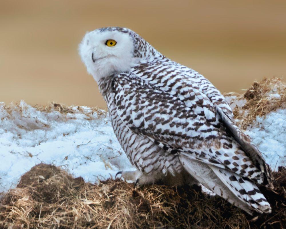 Photo in Animal #bird #owl #snowy owl #animal #wildlife #haybale #winter #hay #snow #feathers #full body #photography