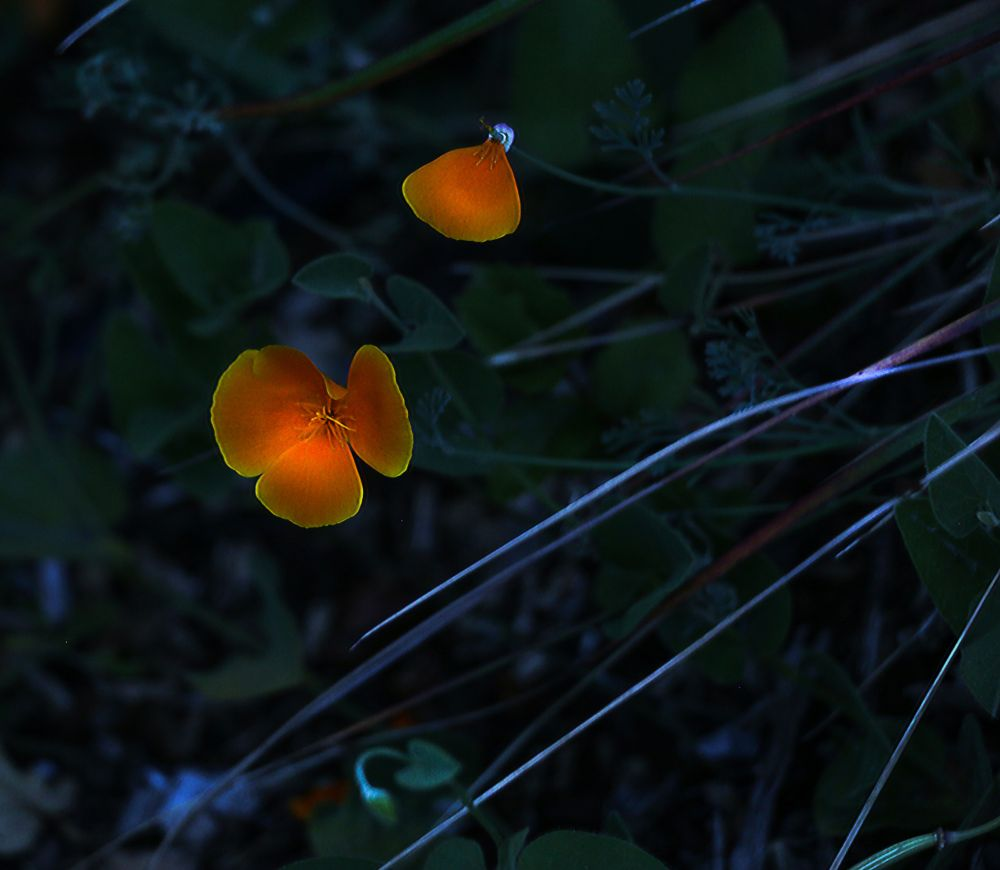 Photo in Nature #poppies #moonlight #flowers