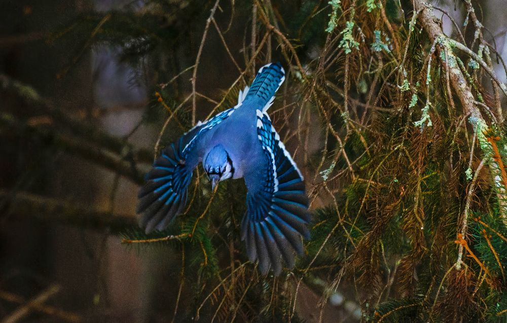 Photo in Random #birds #blue jay #bird flight