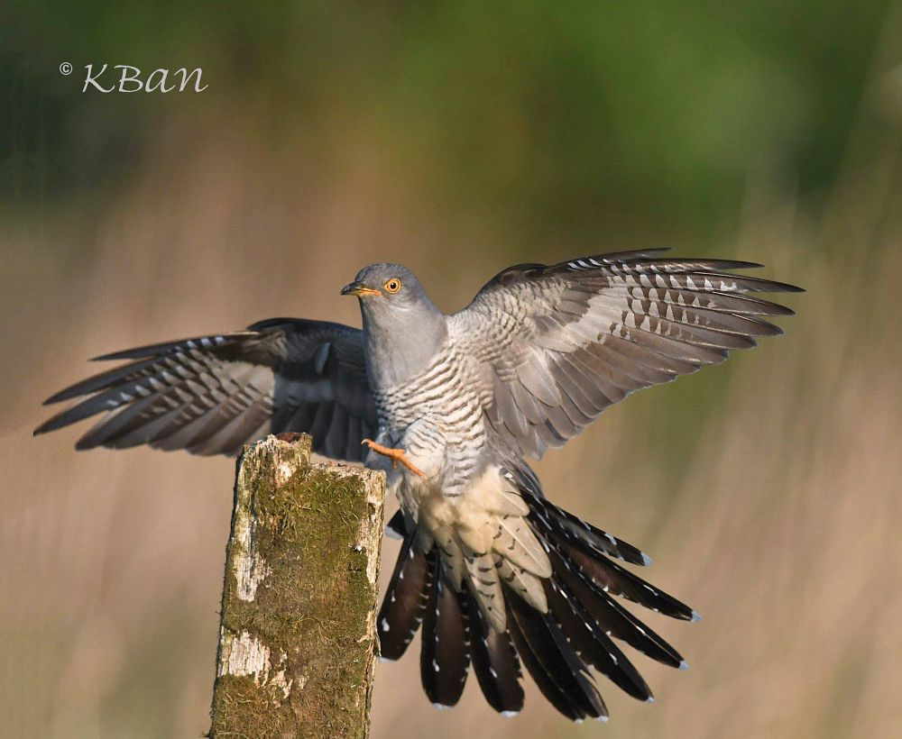 Photo in Random #nature wildlife cuckoo