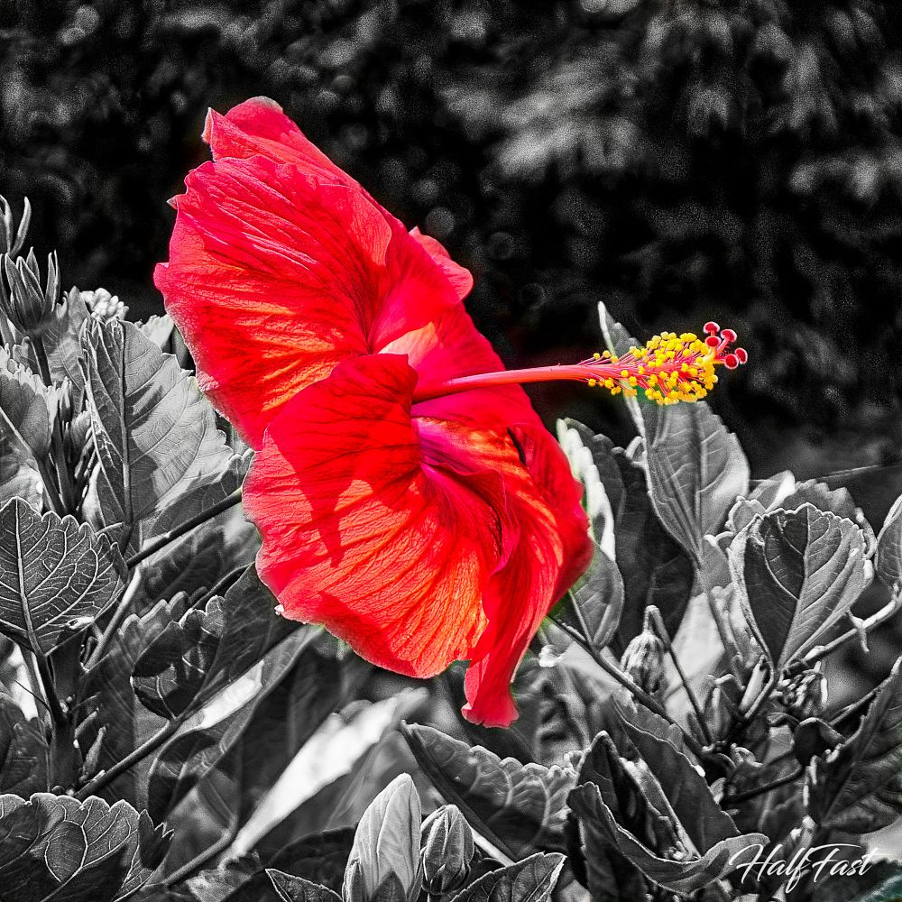 Photo in Nature #flower #hibiscus #plant #nature #black and white