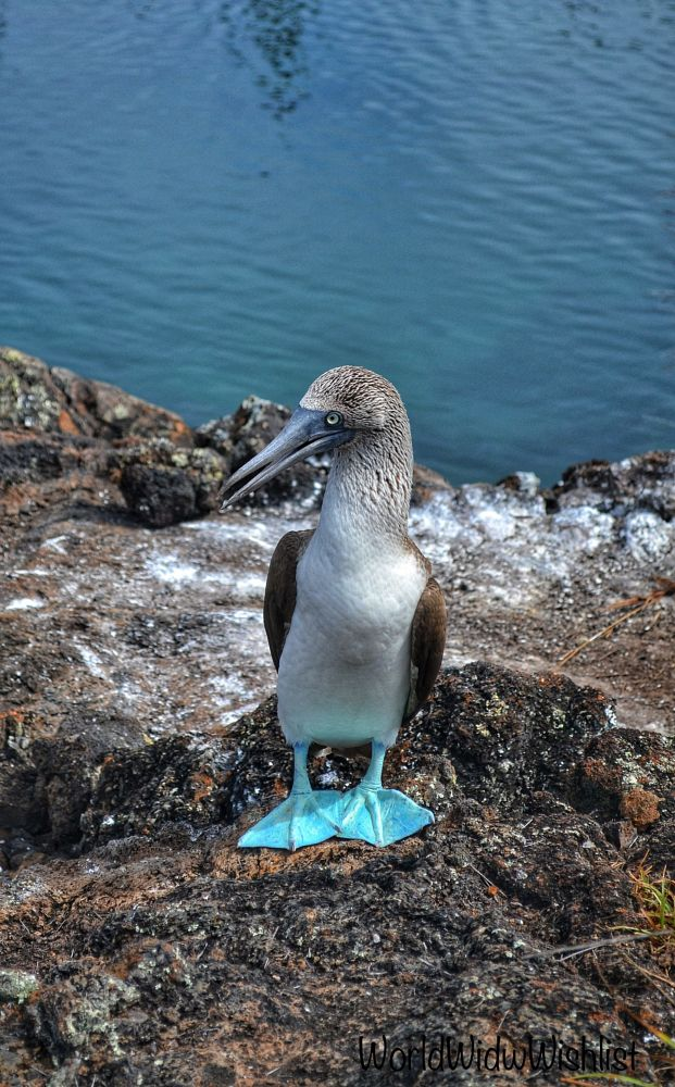 Photo in Animal #bluefootedbooby #bird #galapagos