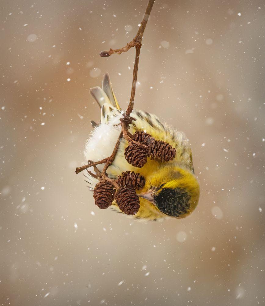Photo in Animal #bird #canonfan #countryside #snow #siskin #birdwatching #birds #bird_brilliance #ukraine #nationalgeographic #bbcnature #nature #canonnature #bokeh