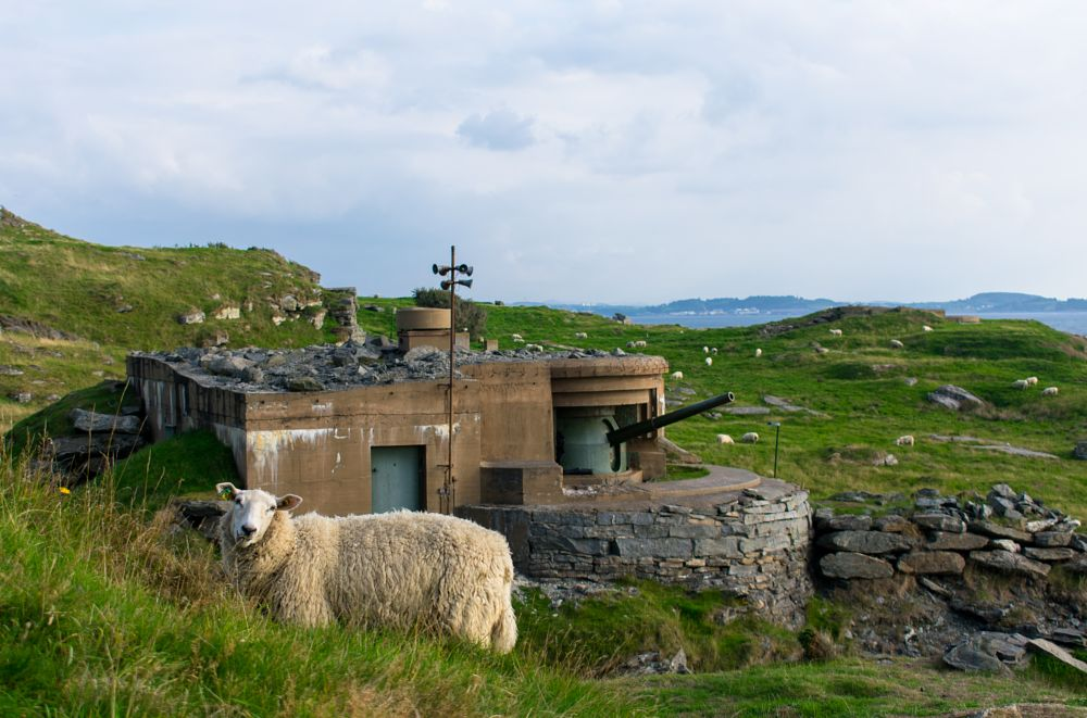 Photo in Nature #sheep #animal #bunker #green #norway #summer