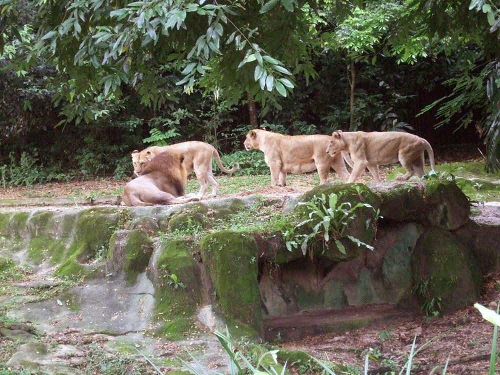 Photo in Animal #lion #zoo #singapore