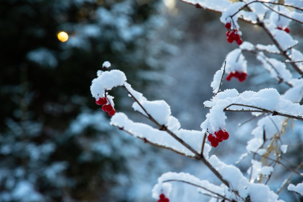 Photo in Nature #red #winter #nature #snow #tree #nature photographer #photographer