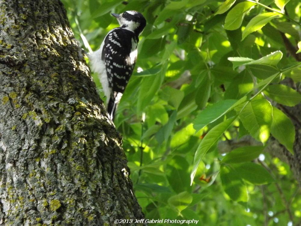 Photo in Random #downy woodpecker #woodpecker #bird #tree #leaves #green