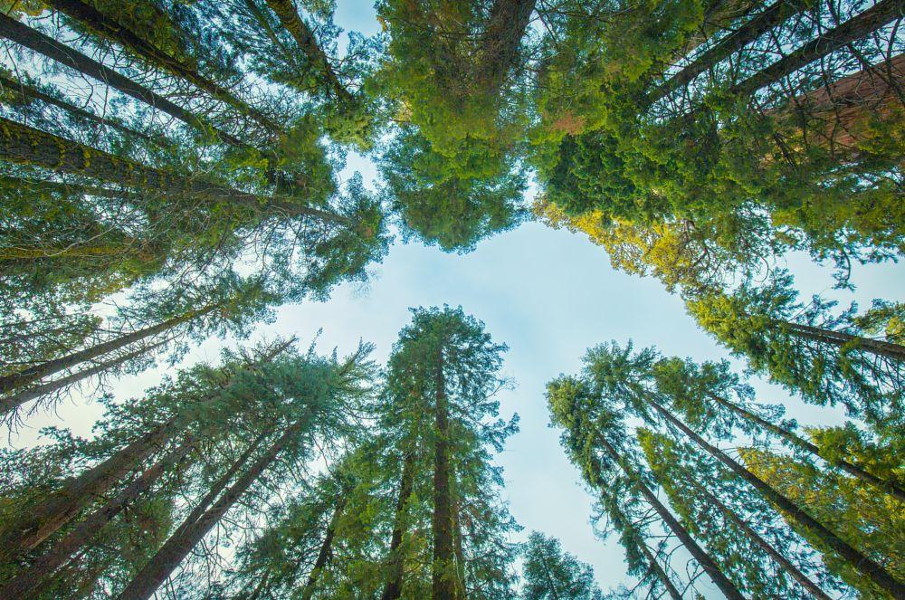 Photo in Landscape #landscape #california #redwood #trees #huge #national park #nature #tall #sky #sequoia national park