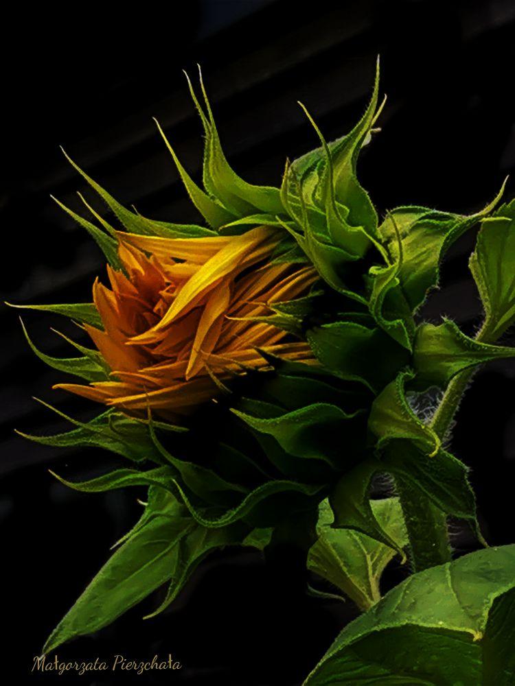 Photo in Macro #sunflower #yellow #flower #garden #nature #macro #macro_nature