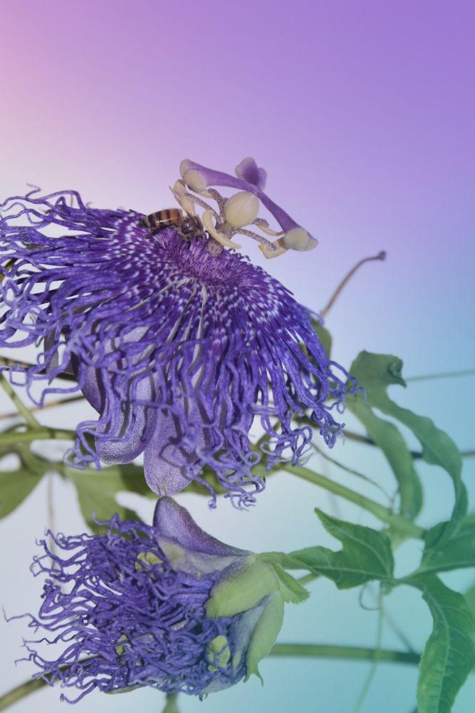 Photo in Macro #passiflora #passiflorairidescence #butterflieswordgardening #gardening #picoftheday #youpic #youpic_macro #macro #macrophotography #beauty #flower #purple #purpleflower