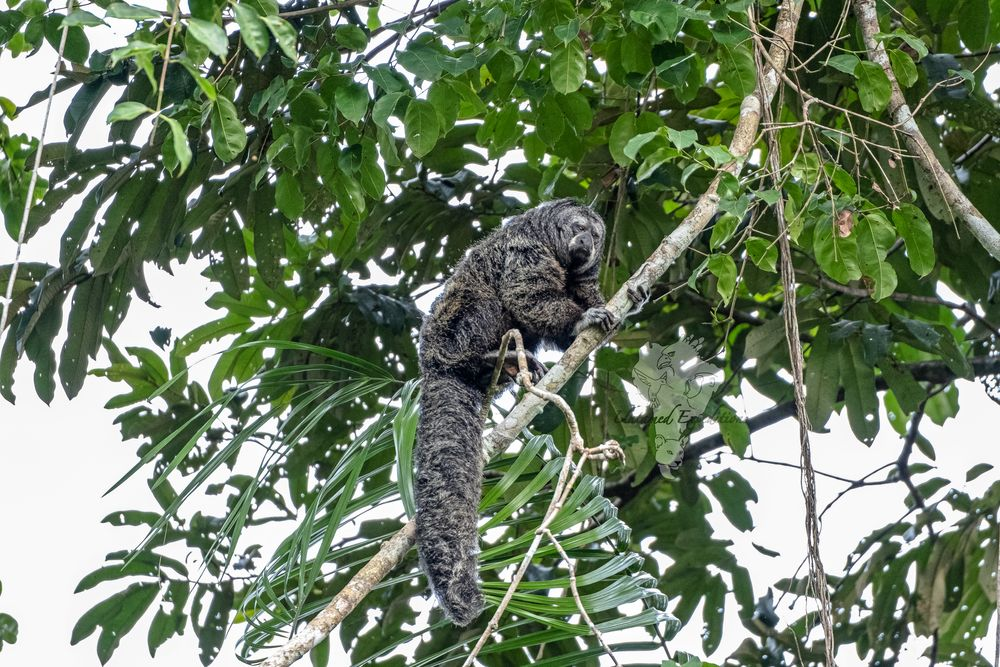 Photo in Animal #untamed expeditions #ecuador #jungle #forest #monkey #primate #perch #tail #fluffy #wild #wildlife #wildlife photography #nature #outdoors #animal #saki #hair #stare