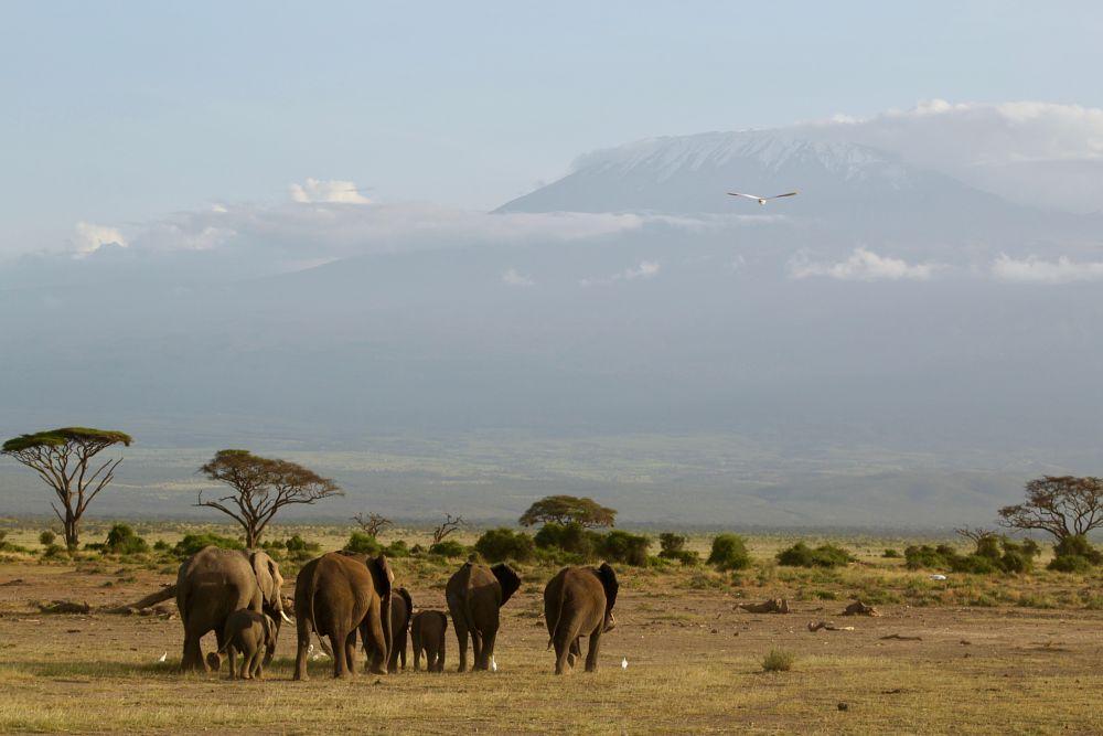 Photo in Landscape #elephant #elephants #kilimanjaro #mountains #family #herd #africa #amboseli #clouds #landscape